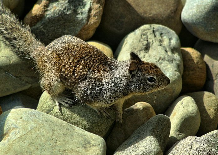 Ventura Greeting Card featuring the photograph Seaside Ground Squirrel by Michael Gordon