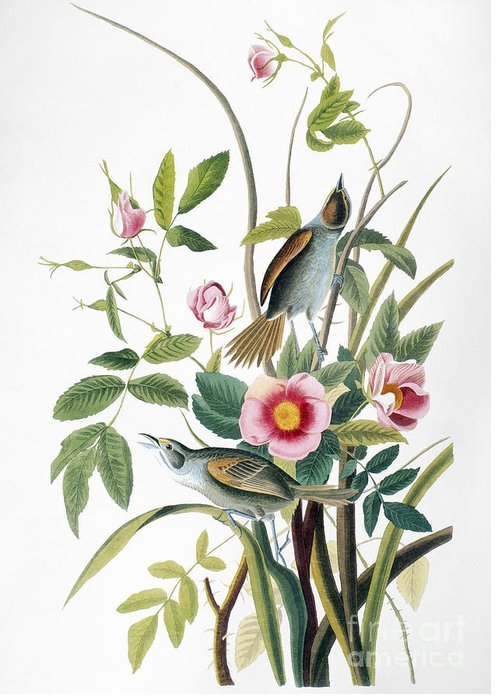 1858 Greeting Card featuring the photograph Seaside Sparrow, 1858 by Granger