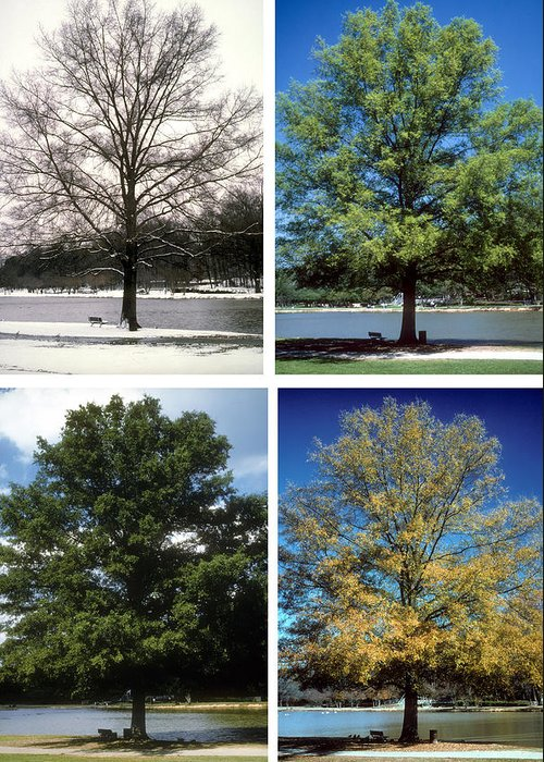 Tree; Green; Summer; Spring; Fall; Winter; Snow; Scenic; Lake; Freedom Park; Charlotte; Nc; Seasons; 4 Seasons; Four Seasons; Nature; Ecology; Global Warming; Time; Passage Of Time; Charlotte; Nc; North Carolina Greeting Card featuring the photograph Seasons Of Time by Gerard Fritz