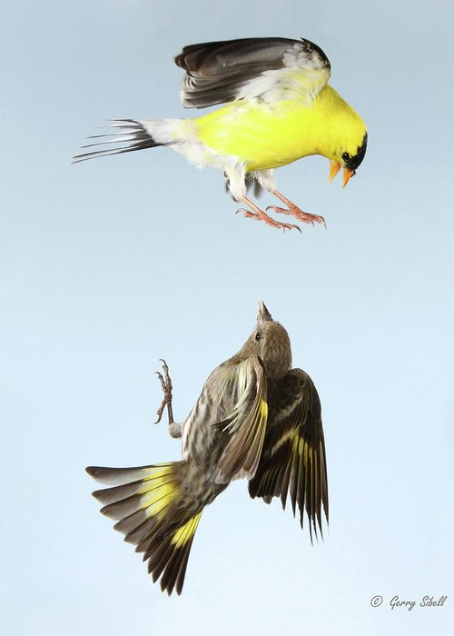 Canary In Flight Greeting Cards