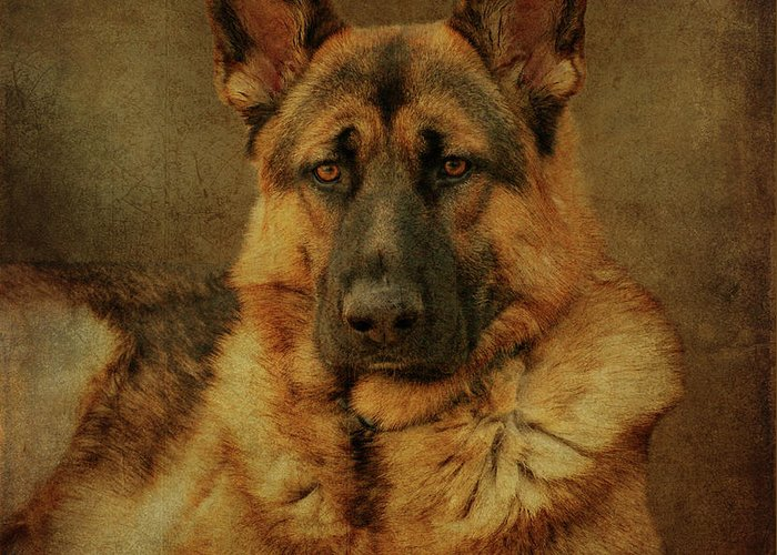German Shepherd Dog Greeting Card featuring the photograph Serious by Sandy Keeton