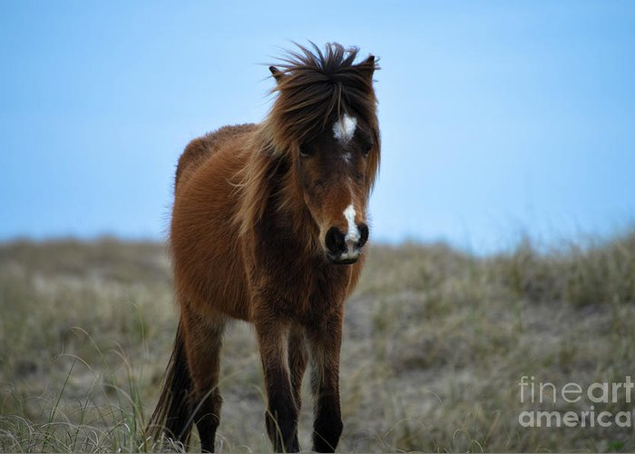 Shackleford Banks Greeting Card featuring the photograph Shackleford Banks Pony by Debbie Morris