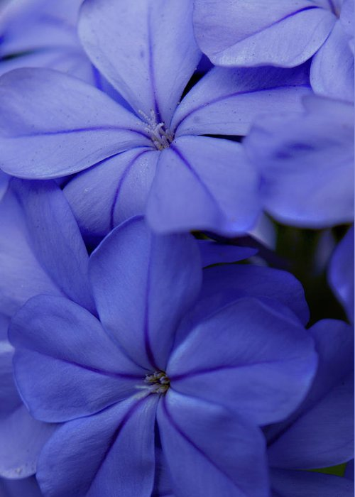 Plumbago Greeting Card featuring the photograph Shades Of Blue by Bob Johnson