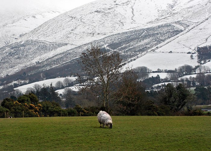 Galtees Greeting Card featuring the photograph Sheep Grazing Atthe Galtees Ireland's Tallest Inland Mountains by Pierre Leclerc Photography