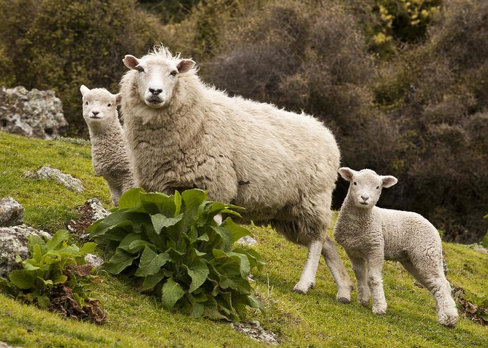 00479625 Greeting Card featuring the photograph Sheep With Twin Lambs Stony Bay by Colin Monteath