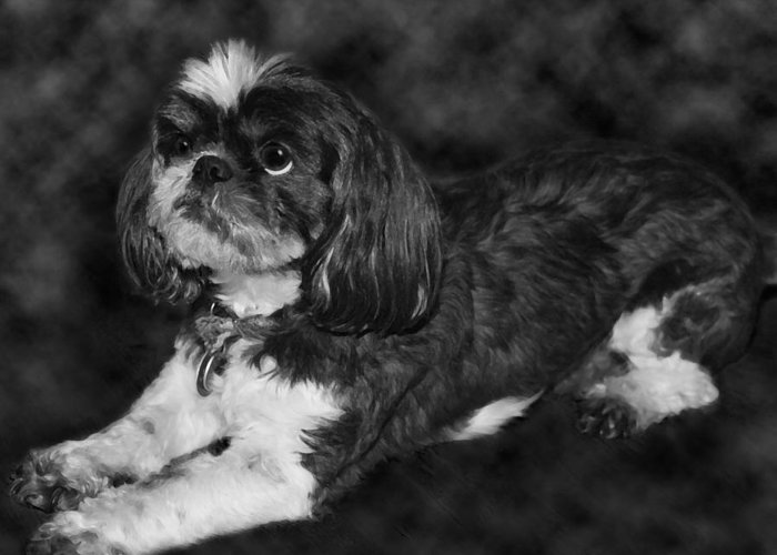 3scape Greeting Card featuring the painting Shih Tzu by Adam Romanowicz
