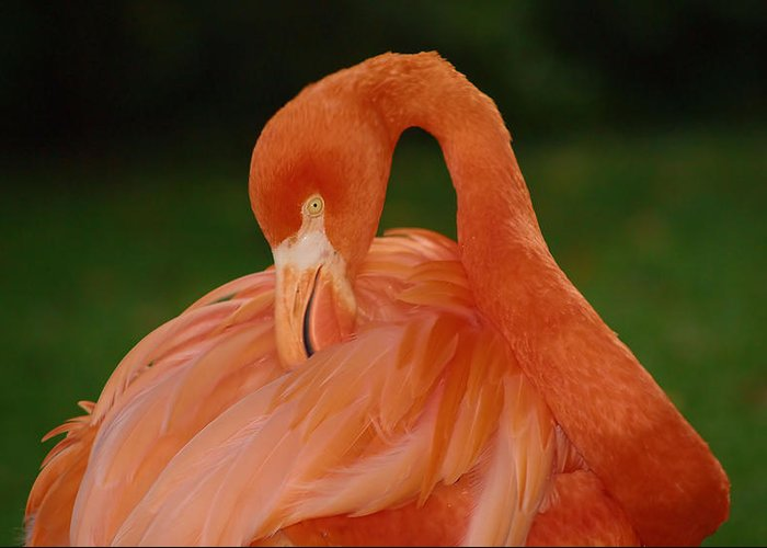Flamingo Greeting Card featuring the photograph shy by Gaby Swanson