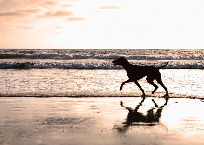 Dog Greeting Card featuring the photograph Silhouette Of Dog On Beach At Sunset by Susan Schmitz