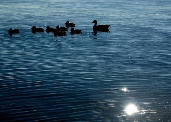 Photography Greeting Card featuring the photograph Silhouetted Duck Family Swims by Todd Gipstein