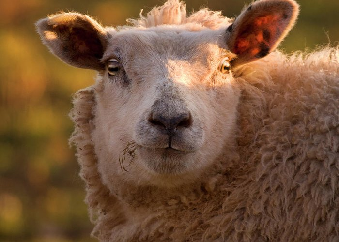 Sheep Greeting Card featuring the photograph Silly Face by Angel Tarantella