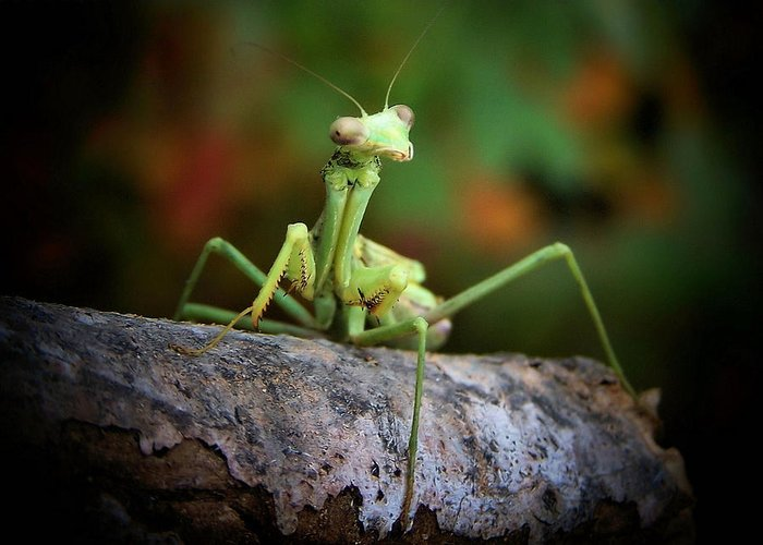 Mantis Greeting Card featuring the photograph Silly Mantis by Karen M Scovill