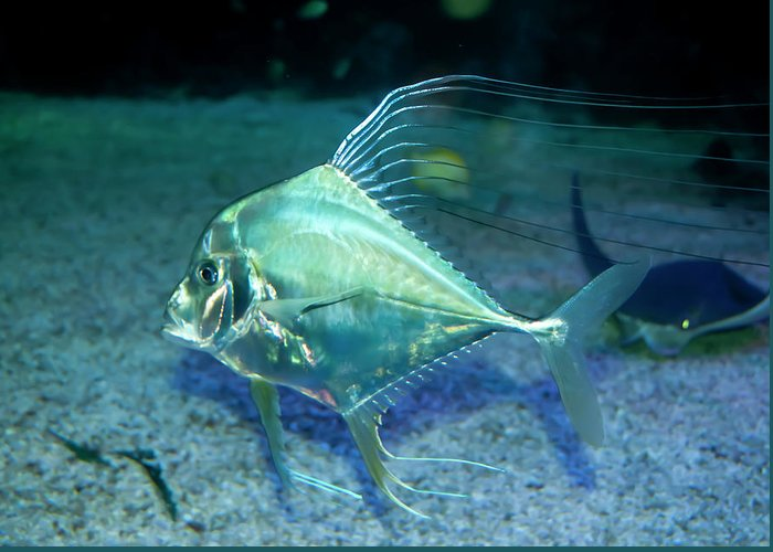 Aqua Greeting Card featuring the photograph Silver Fish by Svetlana Sewell