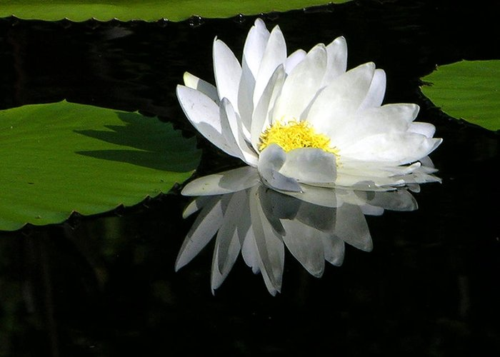 Water Lily Greeting Card featuring the photograph Simply White on Black by John Lautermilch