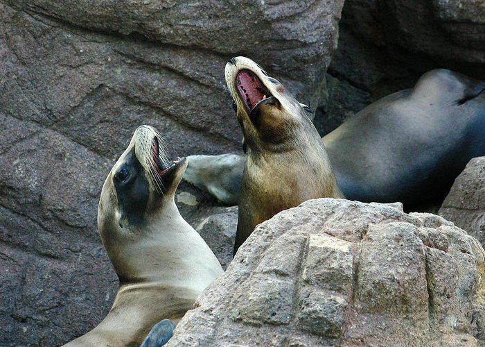 Sea Lions Greeting Card featuring the photograph Singing Sea Lions by Anthony Jones
