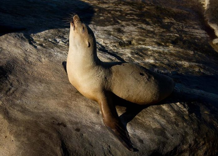 Beach Greeting Card featuring the photograph Singing Seal by Nathaniel Kidd