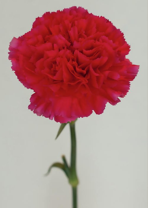 Carnation Greeting Card featuring the photograph Single Flower by Paul Jarrett