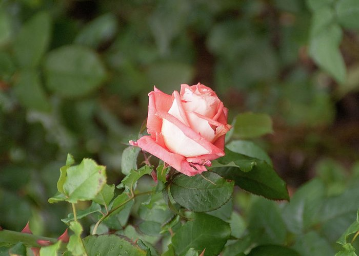 Rose Greeting Card featuring the photograph Single Pink Rose by Adam Gladstone