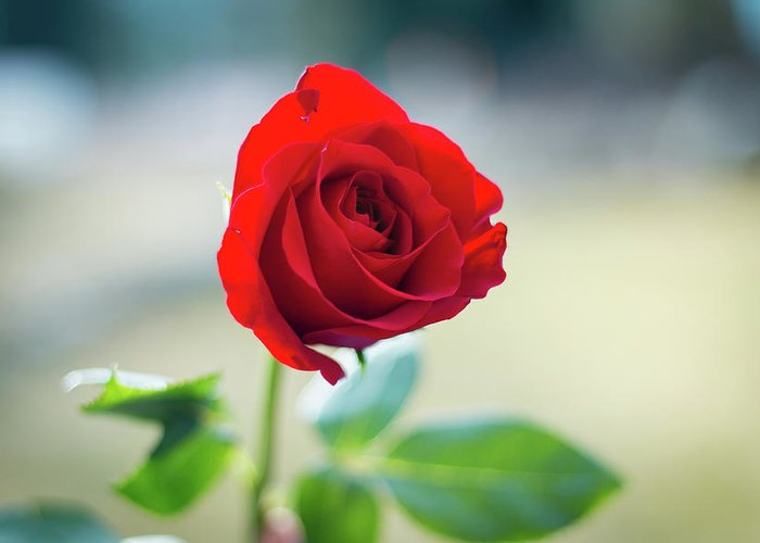 Red Greeting Card featuring the photograph Single Red Rose by Ben McLachlan