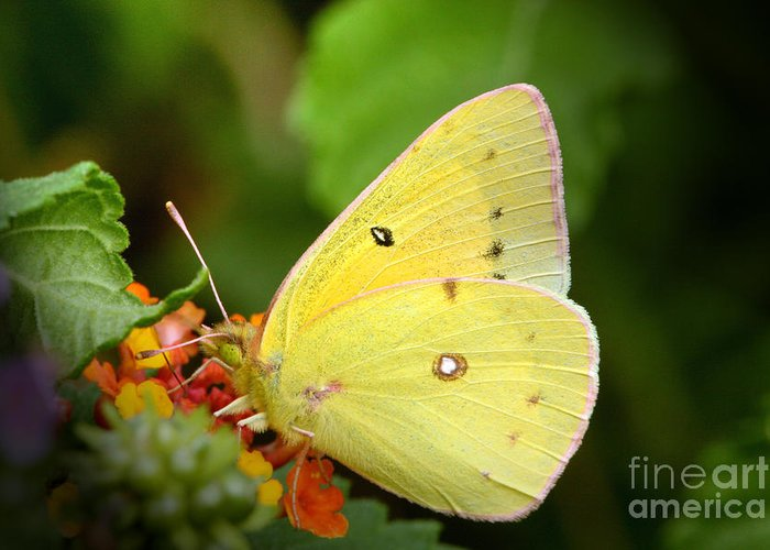 Yellow Greeting Card featuring the photograph Sipping Nectar by Jeannie Burleson