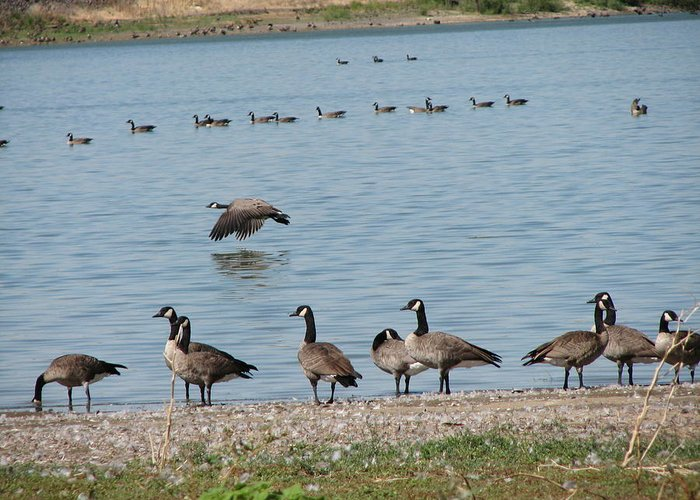 Geese Greeting Card featuring the photograph Sit Stand Or Fly by Athena Ellis
