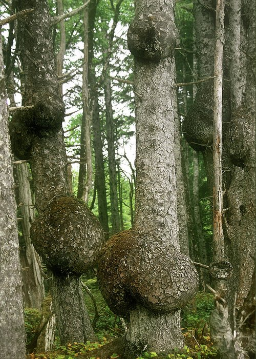 Spruce Greeting Card featuring the photograph Sitka Spruce Burls On The Olympic Coast Olympic National Park Wa by Christine Till