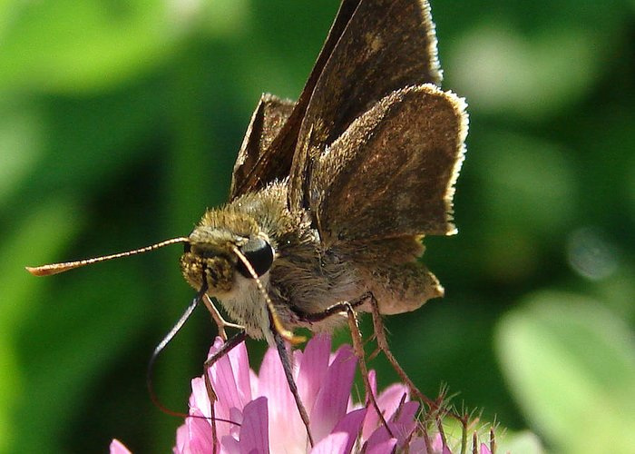 Insect Moth Brown Pink Green Greeting Card featuring the photograph Skipper by Luciana Seymour