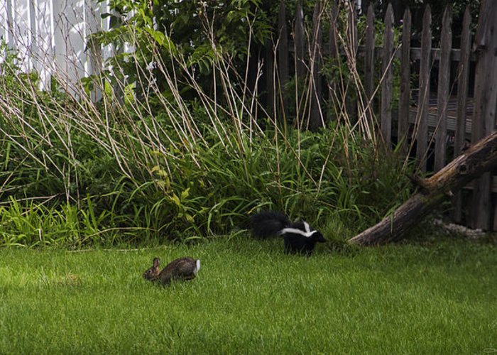 Skunk Greeting Card featuring the photograph Skunk And Rabbit Surprise by Karen Casey-Smith