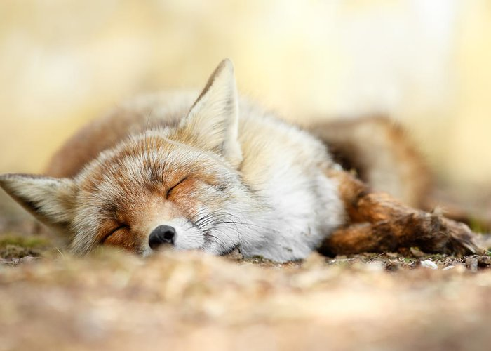 Red Fox Greeting Card featuring the photograph Sleeping Beauty -red Fox In Rest by Roeselien Raimond
