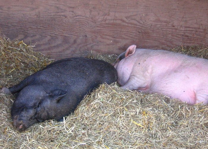Pig Greeting Card featuring the photograph Sleeping Pigs In The Hay by Melissa Parks