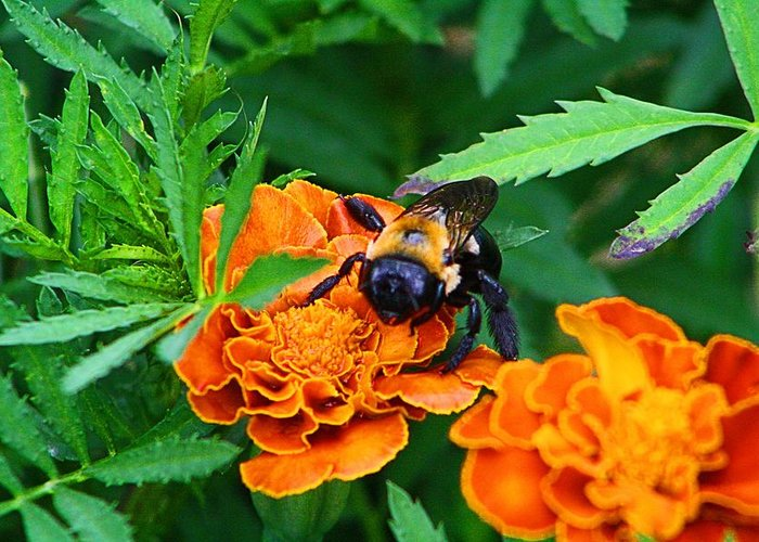 Bee Greeting Card featuring the photograph Sleepy Bumblebee by Kathryn Meyer