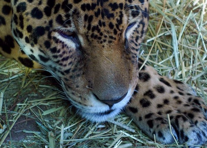 Leopard Greeting Card featuring the photograph Sleepy Leopard by Lori Seaman