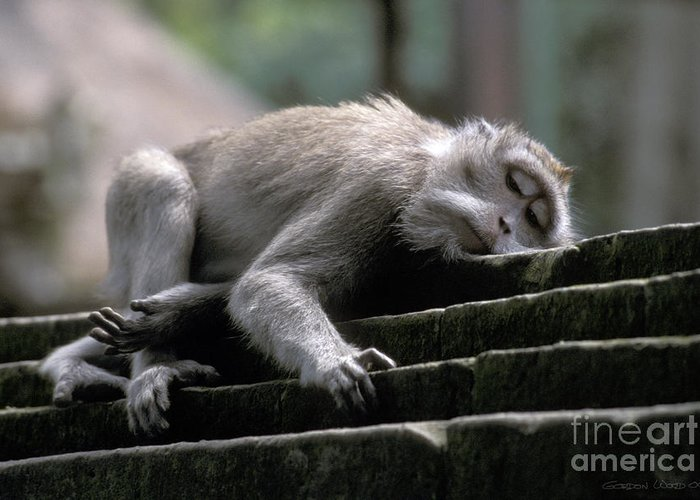 Monkey Greeting Card featuring the photograph Sleepy Monkey In Monkey Forest Ubud Bali by Gordon Wood