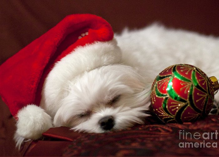 Maltese Greeting Card featuring the photograph Sleepy Time by Leslie Leda