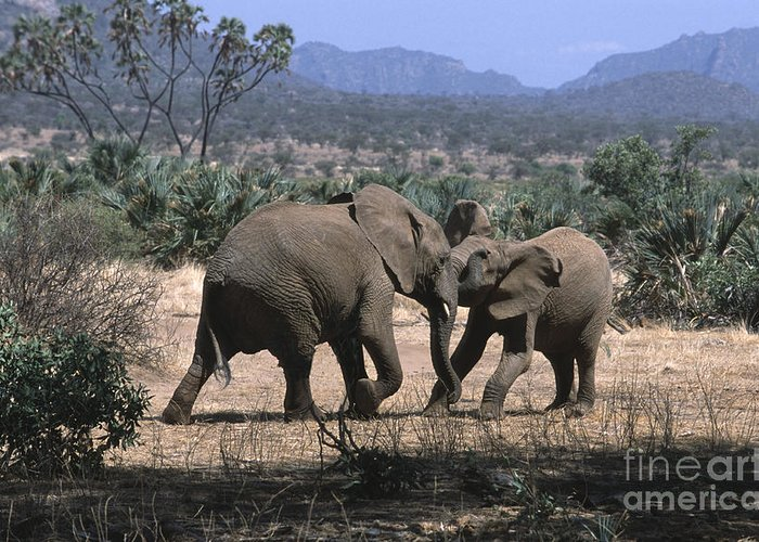 Elephants Greeting Card featuring the photograph Slight Disagreement by Sandra Bronstein