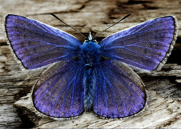 Small Blue Greeting Card featuring the photograph Small Blue Butterfly On A Piece Of Wood In Ireland by Pierre Leclerc Photography