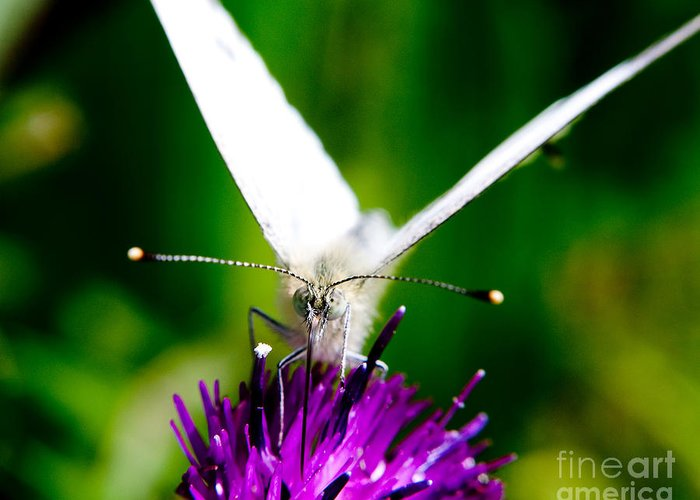 Nature Scenes Greeting Card featuring the photograph Small White Cabbage Butterfly Pieris Rapae by Chris Smith