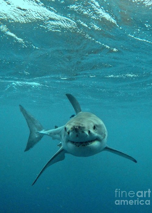 Great White Shark Greeting Card featuring the photograph Smiley Shark by Crystal Beckmann