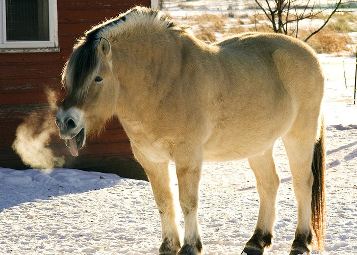 Fjord Greeting Card featuring the photograph Smiling Fjordhorse by Laurie With
