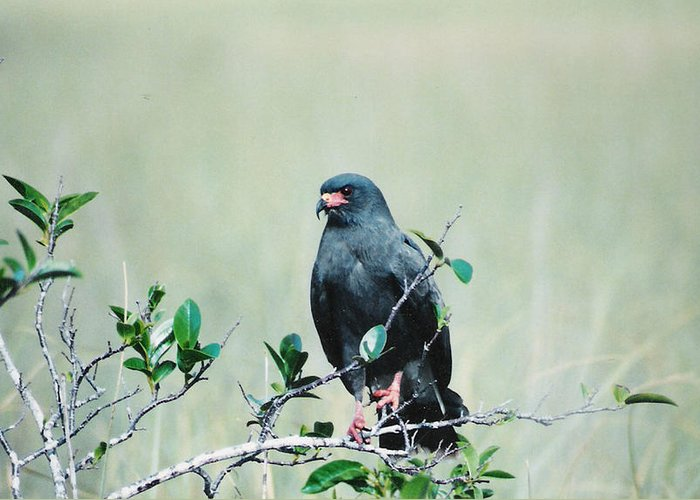Birds Greeting Card featuring the photograph Snail Kite by Cindy Gregg