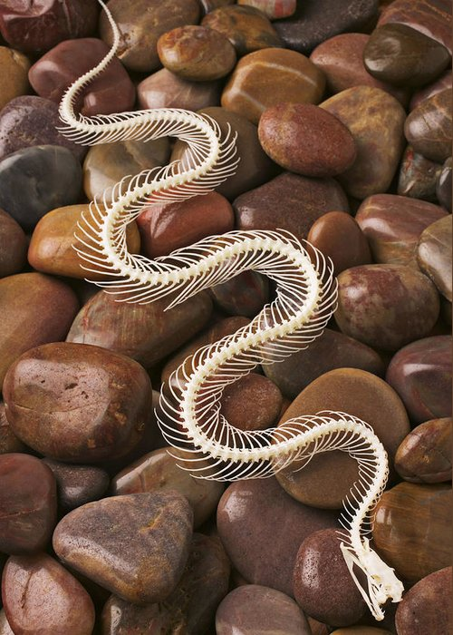 Snake Greeting Card featuring the photograph Snake Skeleton by Garry Gay