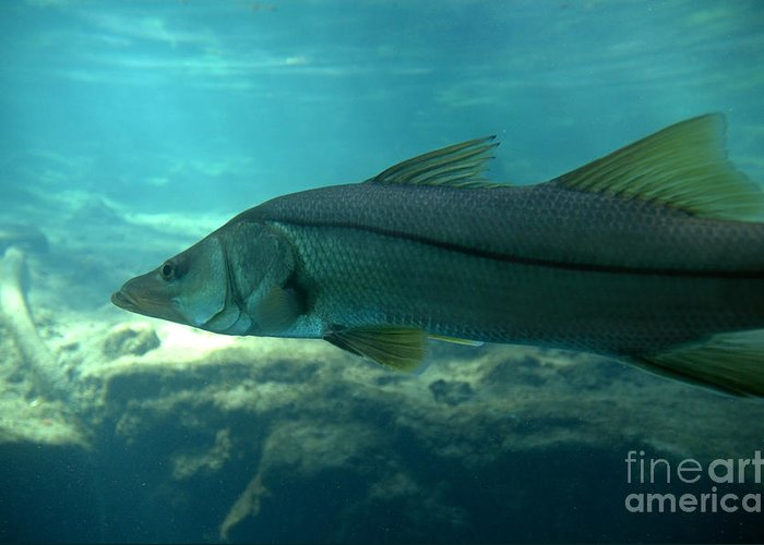 Snook Greeting Card featuring the photograph Snook by Kathi Shotwell