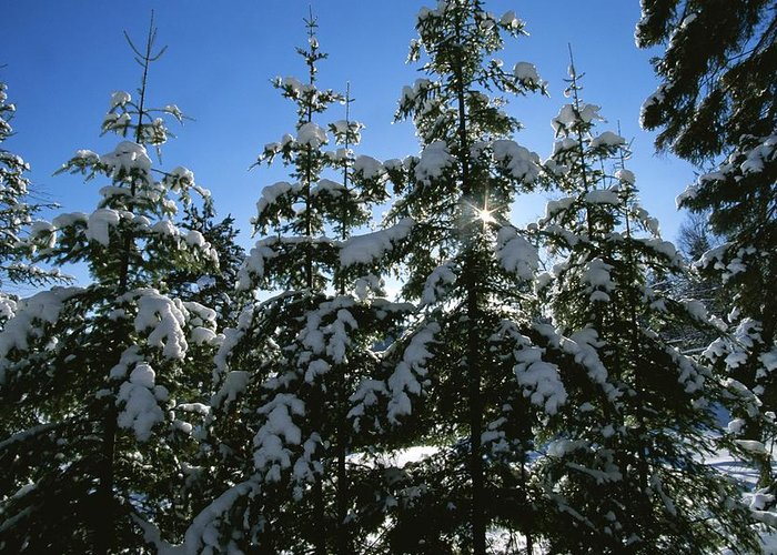 Natural Forces And Phenomena Greeting Card featuring the photograph Snow-covered Pine Trees by Taylor S. Kennedy