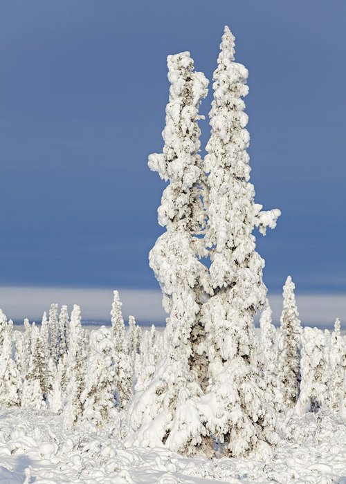 Winter Greeting Card featuring the photograph Snow Covered Spruce Trees by Tim Grams
