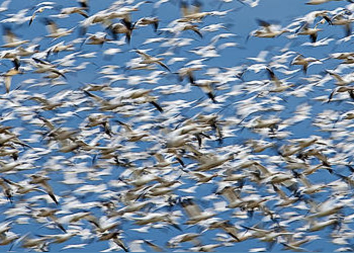 Anser Caerulescens Greeting Card featuring the photograph Snow Geese by Ed Book