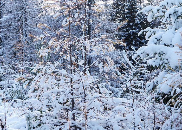 Winter Greeting Card featuring the photograph Snow In The Forest by Phil Banks