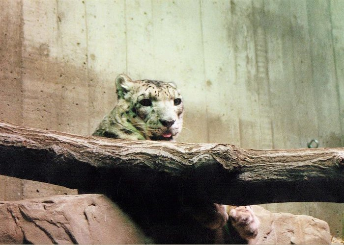 White Tiger Greeting Card featuring the photograph Snow Leopard by Crystal Webb