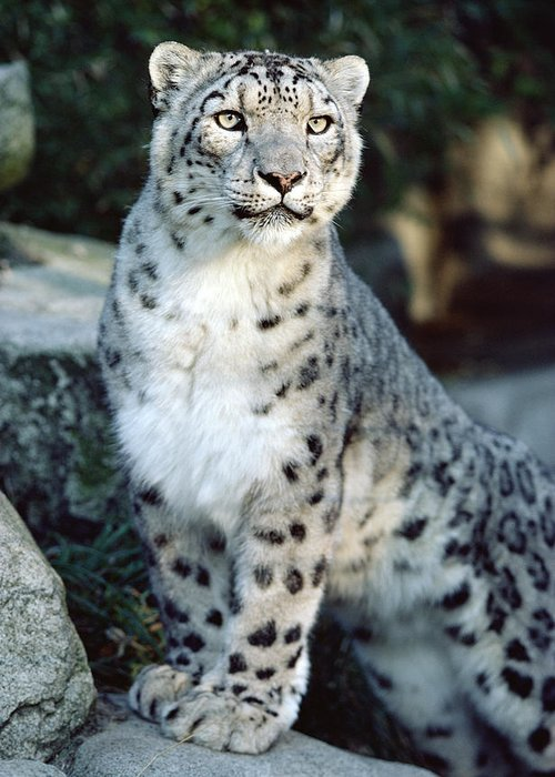 Mp Greeting Card featuring the photograph Snow Leopard Uncia Uncia Portrait by Gerry Ellis