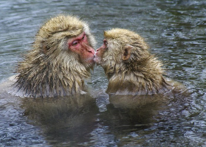 Snow Monkey Greeting Card featuring the photograph Snow Monkey Kisses by Michele Burgess