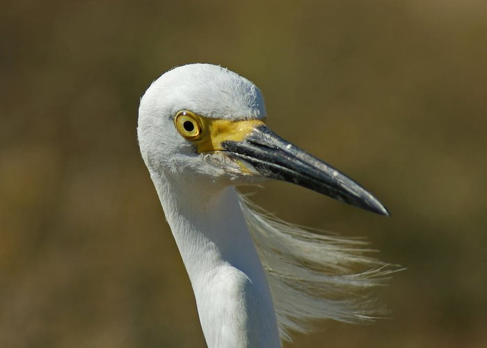 Birds Greeting Card featuring the photograph Snowy Egret Profile 2 by Ernie Echols