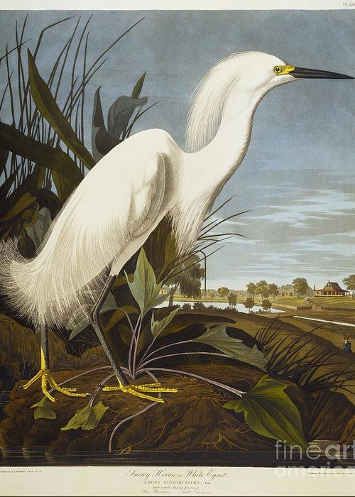 Snowy Heron Or White Egret / Snowy Egret (egretta Thula) Plate Ccxlii From 'the Birds Of America' (aquatint & Engraving With Hand-colouring) By John James Audubon (1785-1851) Greeting Card featuring the drawing Snowy Heron by John James Audubon